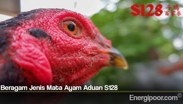 Beragam Jenis Mata Ayam Aduan S128