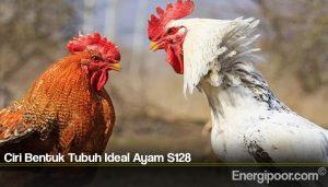 Ciri Bentuk Tubuh Ideal Ayam S128