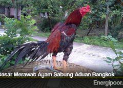 Tips Dasar Merawat Ayam Sabung Aduan Bangkok