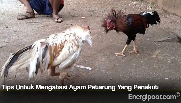 Tips Untuk Mengatasi Ayam Petarung Yang Penakut